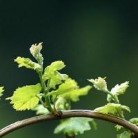 vinska-trta_z